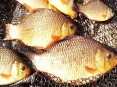 В какой рыбе есть описторхоз: список и как определить?